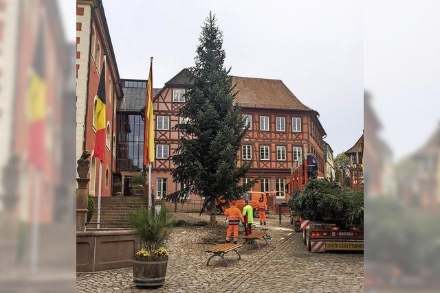 Die Weihnachtsbäume kommen aus dem Kinzigtal