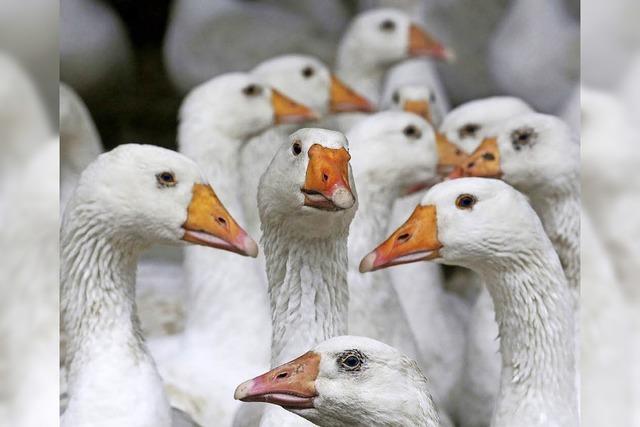 Zugvögel brachten das Virus