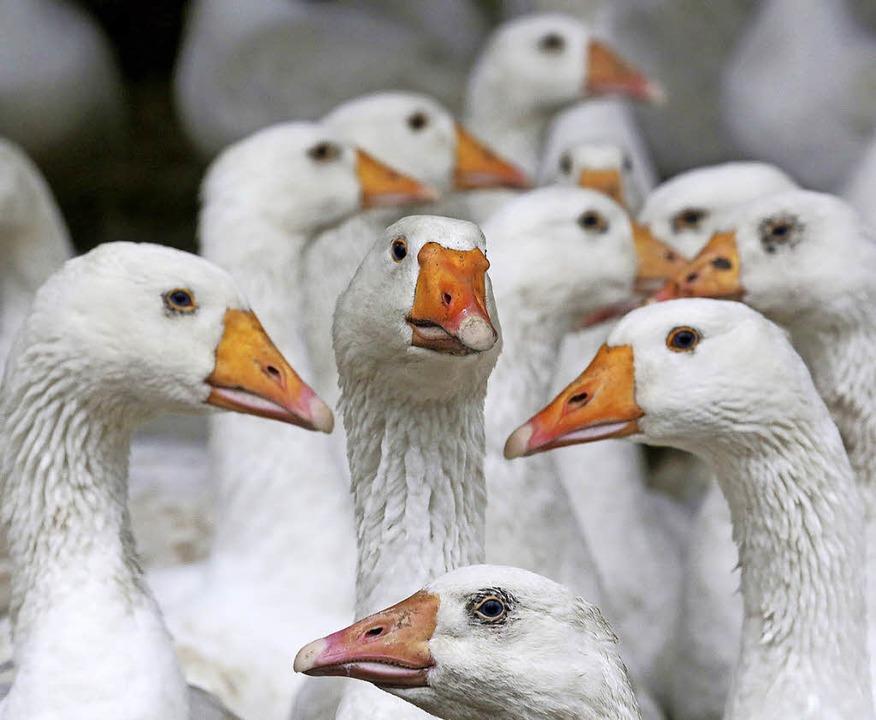 vogelgrippe symptome 2016