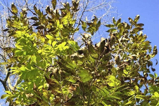 Bäume müssen gefällt werden - vor allem wegen des Eschensterbens