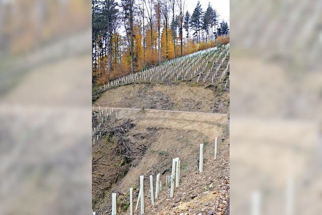 Neue Bäume sollen Hang stabilisieren