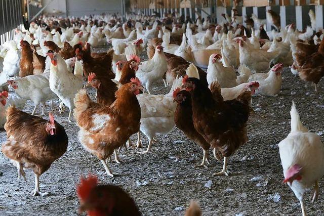 Wie regionale Höfe ihre Hühner vor Vogelgrippe schützen