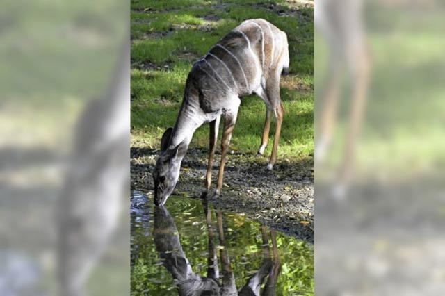Zoo holt drei Kleine Kudus (Antilopen) nach Europa