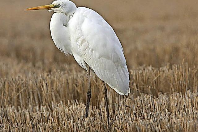 Raubwürger, Bergpieper, Silberreiher und Eisvogel können entlang der Dreisam beobachtet werden