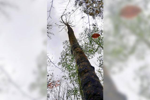 Ein ostasiatischer Pilz lässt Eschen absterben