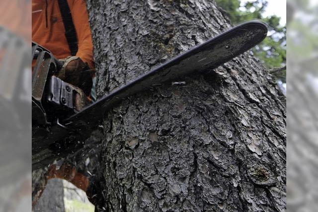Der Gemeinderat stimmt schweren Herzens dem Fällen von Bäumen zu