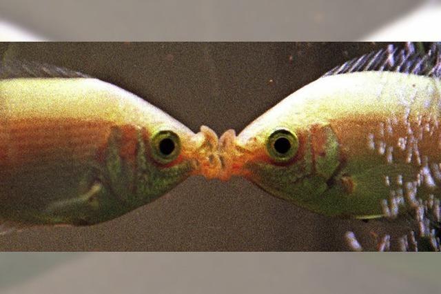 Viele Fischarten leuchten rot, wenn sie auf Partnersuche sind