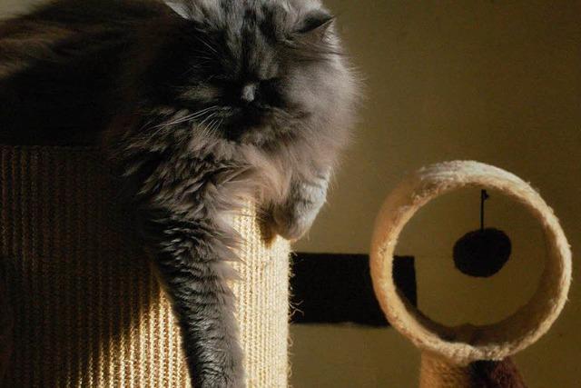 Im Katzencafé in Kandern sind die Perserkatzen die Stars