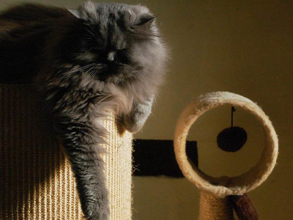 Perserkatze Mogli döst auf einem Katzenbaum im Kanderner Katzencafé.  | Foto: Tamara Keller