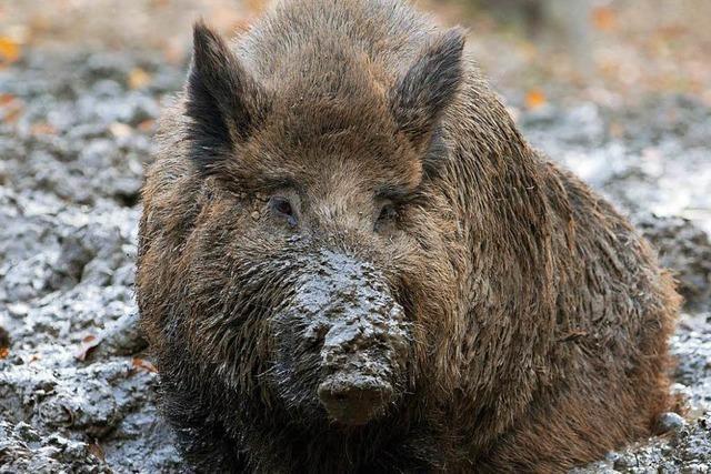Es gibt immer mehr Wildschweine in Südbaden