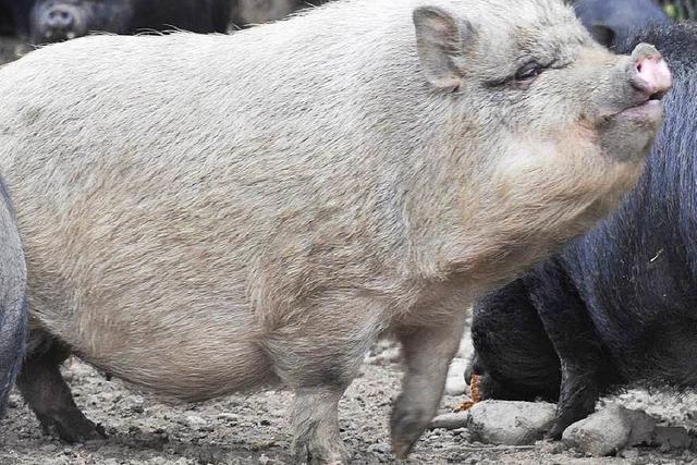 Jäger erschießt versehentlich ein Hängebauchschwein – Bürger sauer