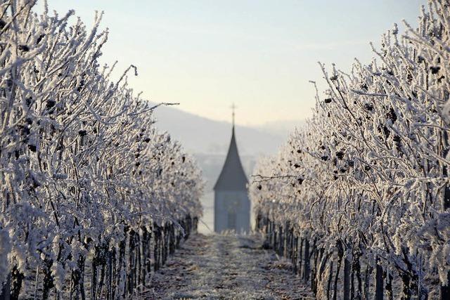 Reben im schönsten Winterkleid