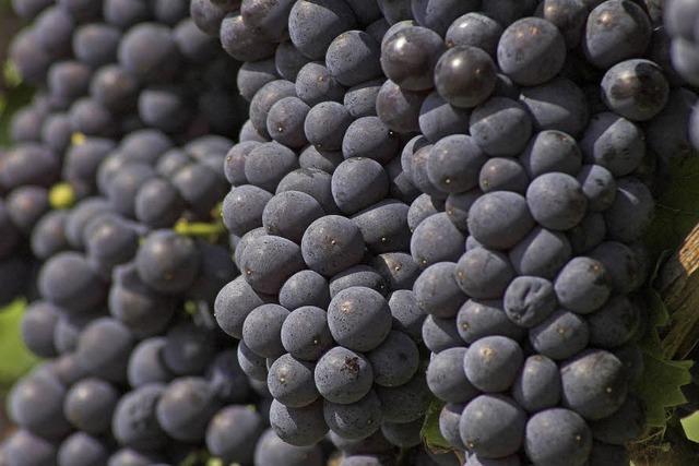 Winzergenossenschaft Nordweil blickt auf ein ungewöhnliches Weinjahr zurück