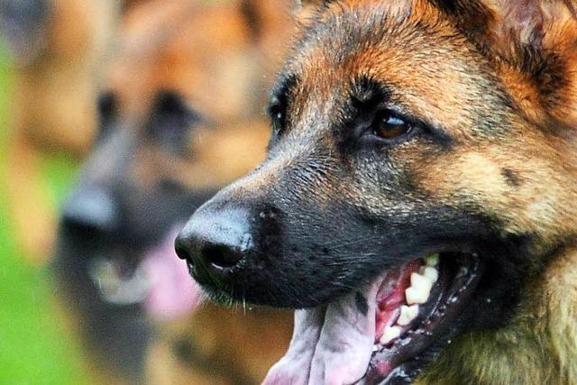 Diebe betäuben Hund, um Bargeld zu klauen