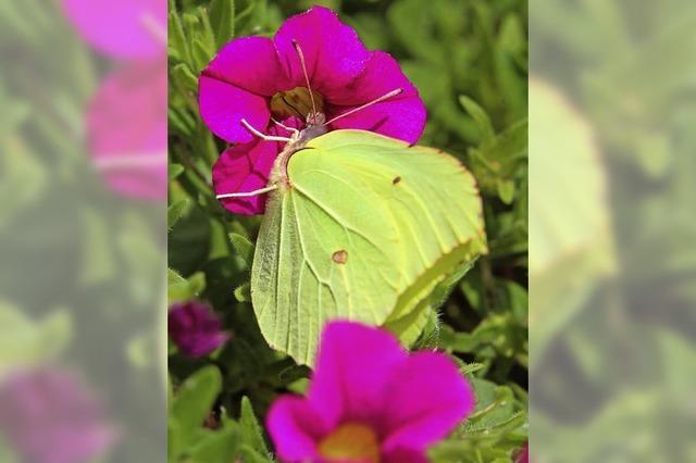 Schmetterlinge vom Aussterben bedroht