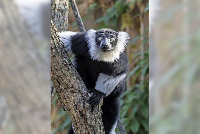 Madagassische Affen bellen und heulen