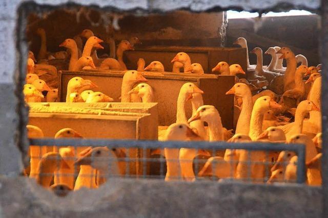 Weihnachtsgänse müssen wegen der Vogelgrippe im Stall bleiben