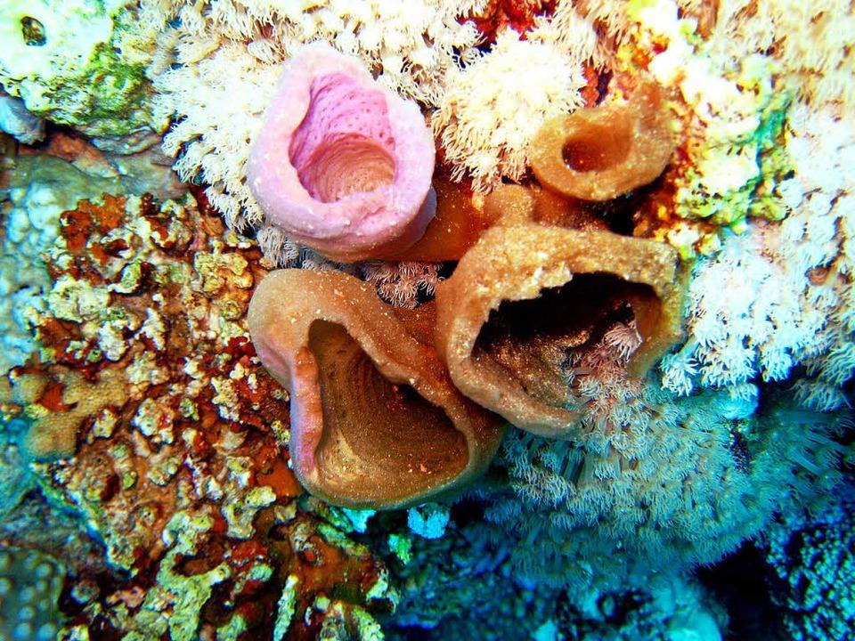 Schwämme auf einem Korallenriff sind häufig bunt und nützlich.  | Foto: Stephan Jansen