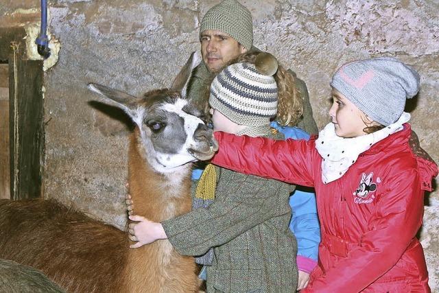 Lamas streicheln im Weihnachtsstall