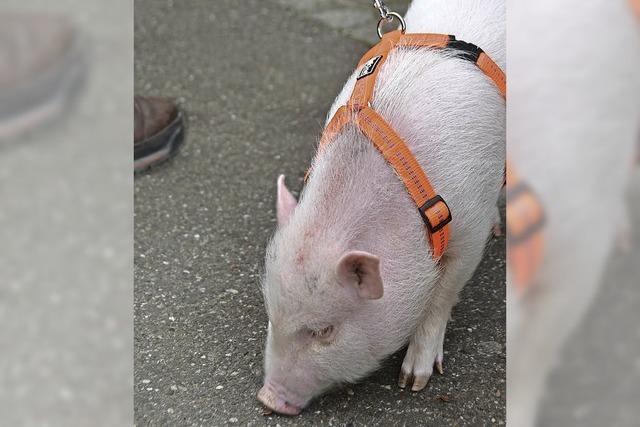 Stadtbummel mit Minischwein