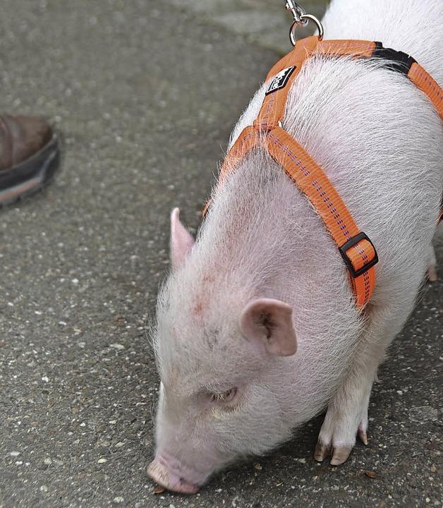 Minischwein Lulu spazierte in Schopfheim.     Foto: Angelika Schmidt