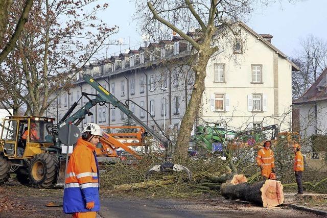 Bäume fallen am Kronenplatz