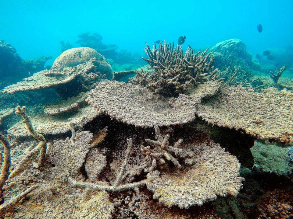 Was für ein Unterschied: Korallen, die von der Bleiche betroffen sind.  | Foto: Greg Torda/Arc Centre Of Excelle