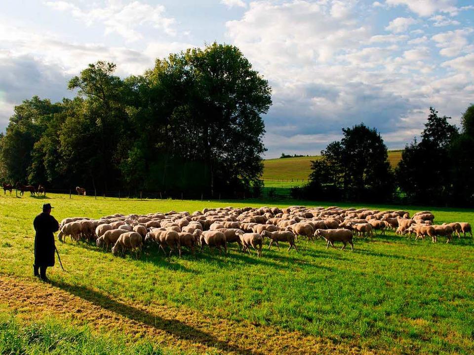 In Baden-Württemberg gibt es 140 hauptamtliche Schäfer mit knapp 100000 Tieren.  | Foto: dpa