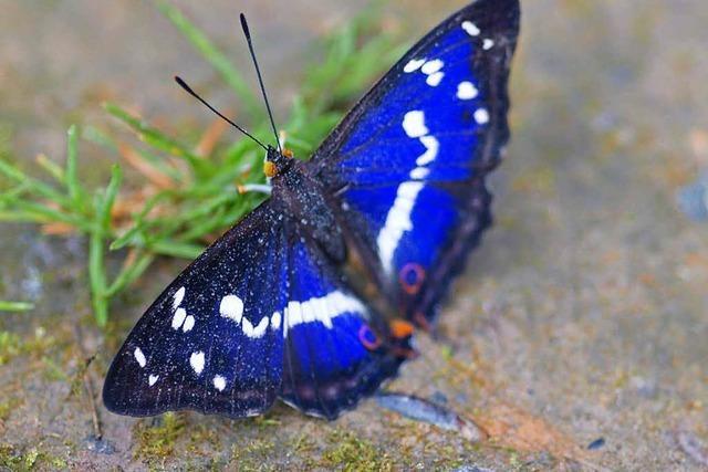 Naturschützer fürchten Frühling ohne Schmetterlinge