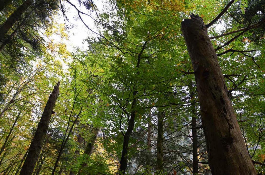 Im wilden Wald soll sich die Natur nahezu ungestört entwickeln.    Foto: Alexandra Wehrle