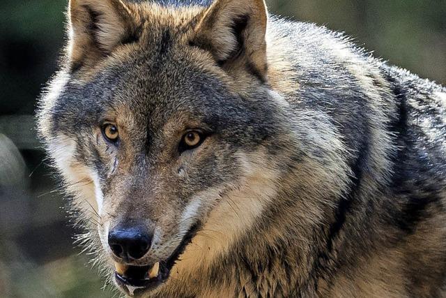 Agrarminister Christian Schmidt will Wölfe jagen lassen