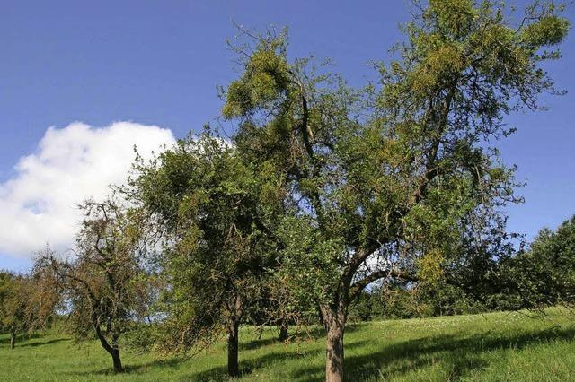 Laubholzmistel bedroht Streuobstbau