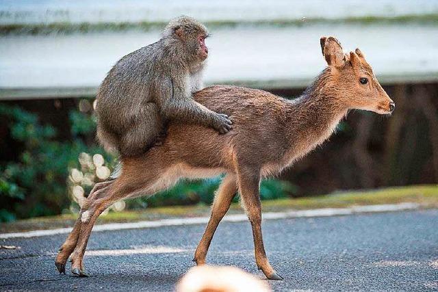 Falsche Partnerwahl: Makake besteigt Hirschkuh