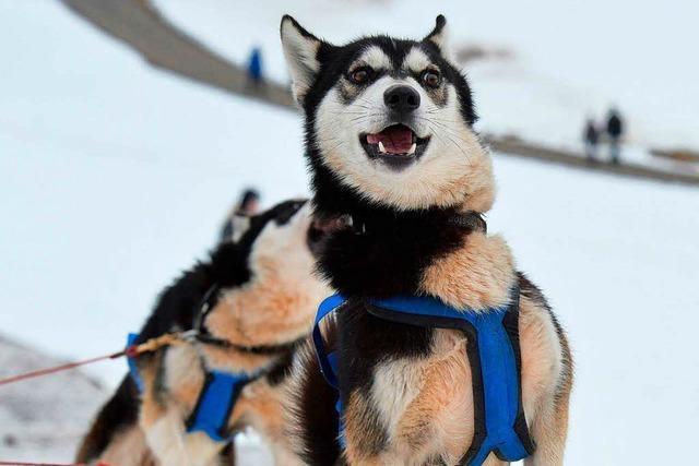 Schlittenhundeführer trainieren für das Rennen in Todtmoos