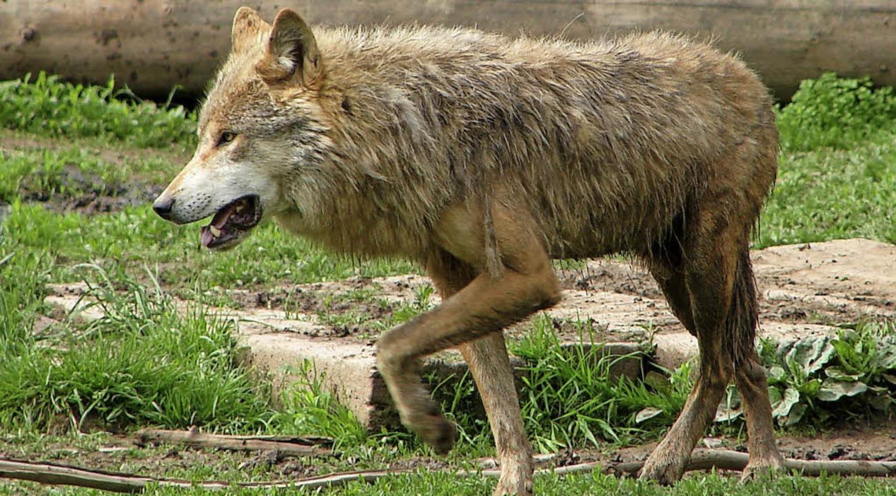 Wolf im Löffinger Tierpark  | Foto: Christa Maier