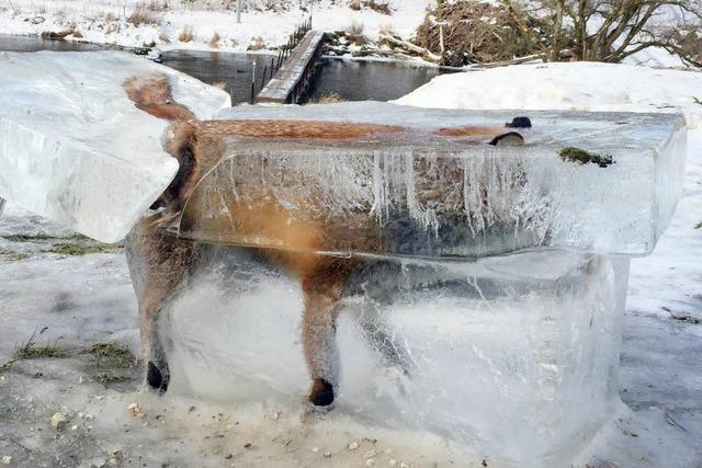 Fuchs im Eis