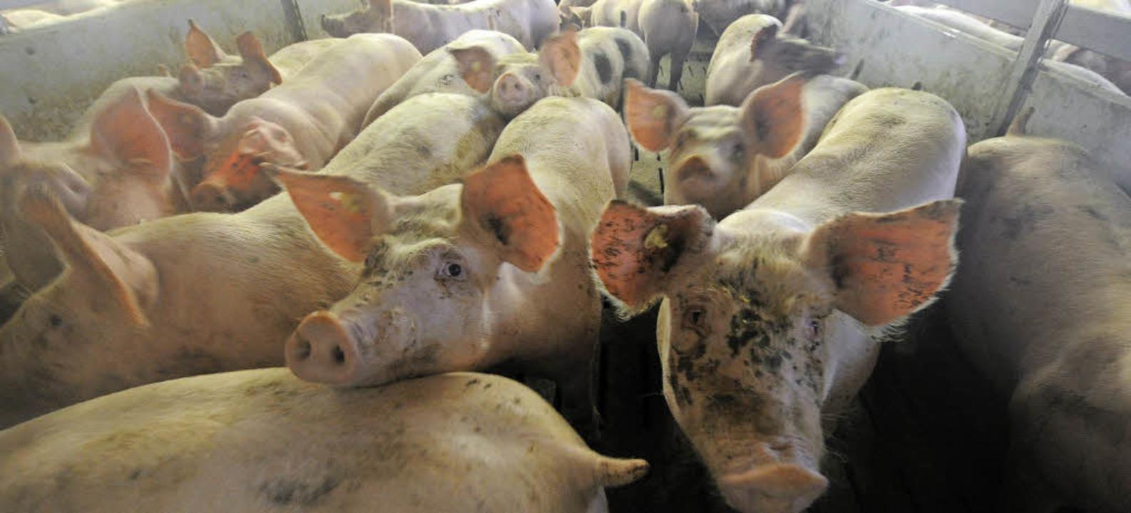 Ein Schweineleben? Die richtige Haltun...Nutztieren ist ein umstrittenes Thema.  | Foto: dpa