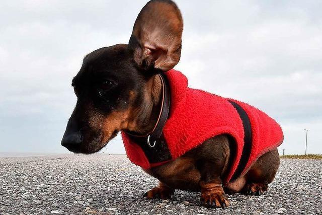 Der Dackel - vom Spießer-Hund zum Hipster-Accessoire?