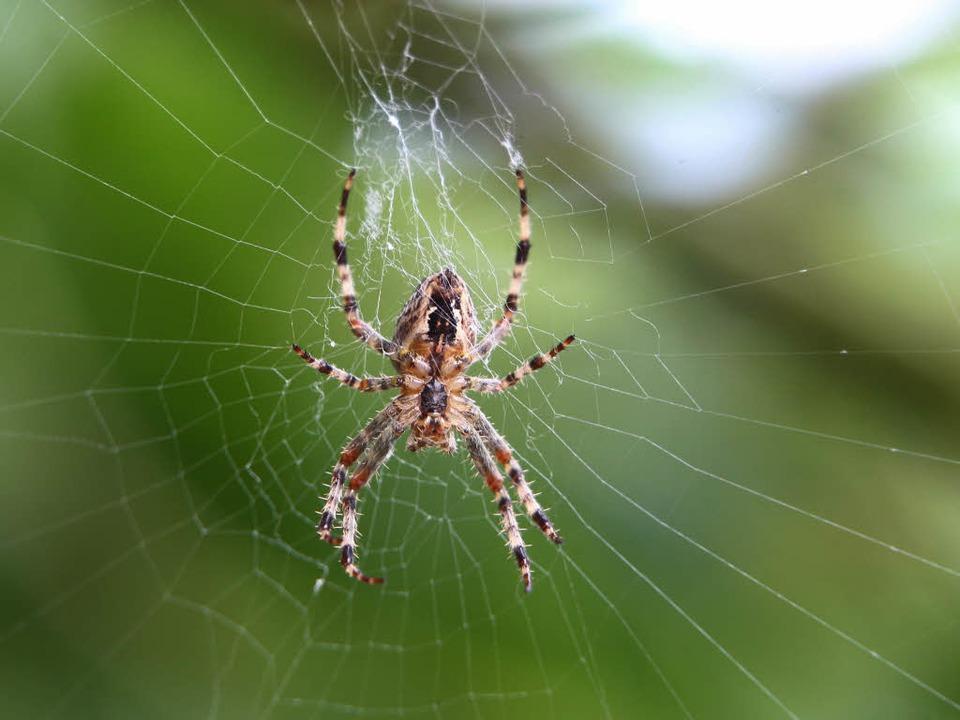 Eine Spinne sitzt in ihrem Netz. (Symbolbild)    Foto: dpa