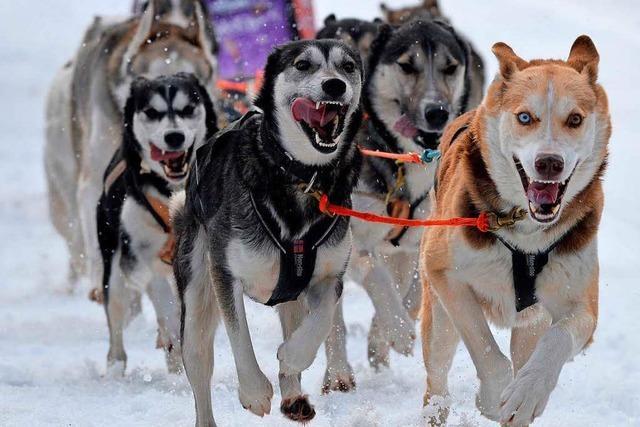 1000 Tiere starten beim Schlittenhunderennen am Wochenende