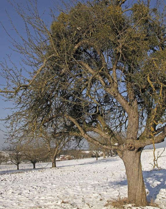 Misteln in vernachlässigten Streuobstb...henwirt für die Kirschessgfliege sein.  | Foto: Jutta Schütz
