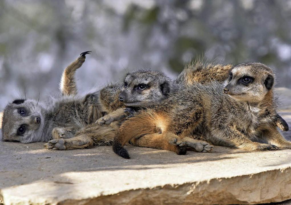 Drei Erdmännchen kuscheln sich unter der Wärmelampe aneinander.  | Foto: Michael Bamberger
