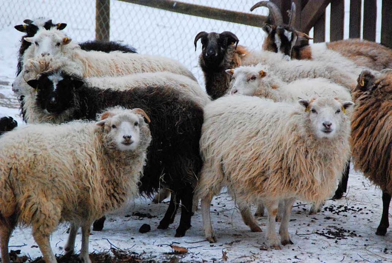 Mit Wolle gut gerüstet gegen Kälte  | Foto: Maja Tolsdorf