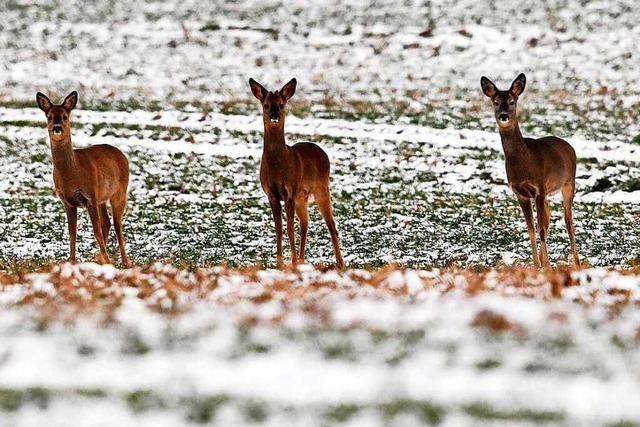 Haselbecken unterbricht Wildtierkorridor