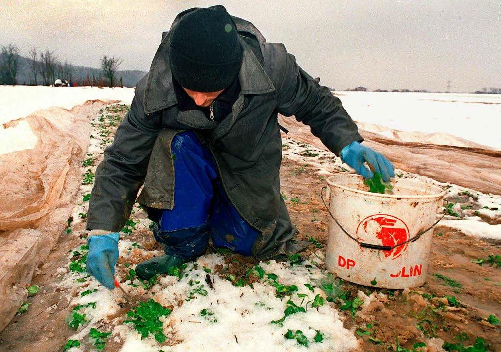 Feldsalat vom Acker zu holen ist nicht... zur Zeit ist es sogar fast unmöglich.  | Foto: Rolf_Haid