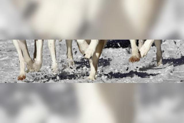Heiße Huskys auf kaltem Schnee