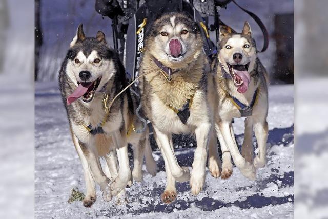 Schlittenhunderennen in Todtmoos