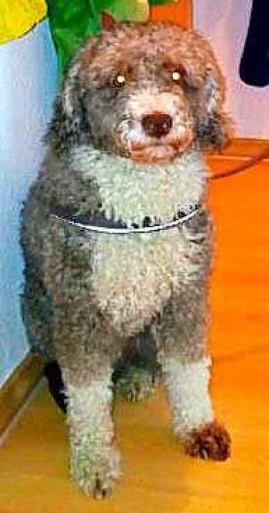 Der spanische Wasserhund sei ein Schaf...n, um die Hundesteuer zu hinterziehen.  | Foto: dpa