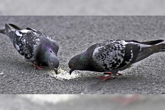Tauben gefüttert: Lörrach-Besucher muss vors Gericht