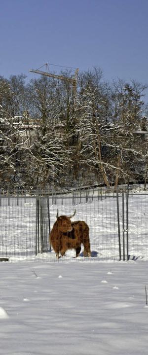 Rind im Schnee bei Novartis    Foto: Erika Bader